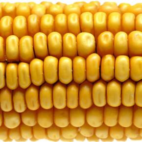 Rootworm develops resistance to GM corn originally engineered to kill them